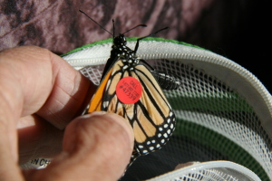 Gibbs tagged butterfly's found 001