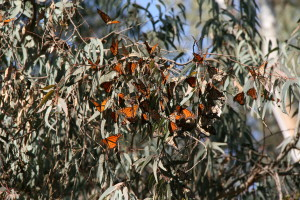 Butterflies central park 1 14 16 moving 013