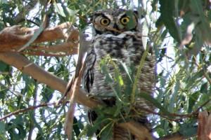 Owl Gibbs Park 1