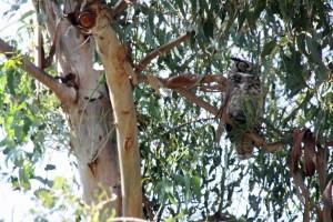 Owl Gibbs Park2