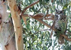 Owl Gibbs Park3