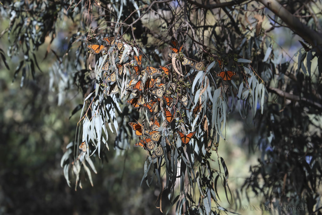 Monarch Butterflies at HCP Clumping